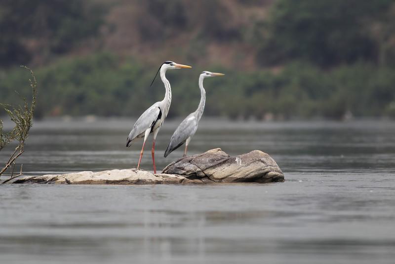 grey herons, adult breeding (left), juvenile (right), Mekong River, Cambodia