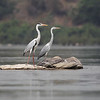 grey herons, adult breeding (left), juvenile (right), Mekong River, Cambodia
