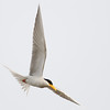 river tern, adult, in-flight searching for fishes, Koh Preah, Mekong River, Cambodia