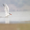 Caspian tern, taking flight after an unsuccessful fishing attempt, Koh Preah area, Mekong River, Cambodia, 3/16/13