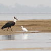 woolly-necked stork and little egret, Koh Preah, Mekong River, Cambodia