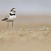 little-ringed plover, male breeding, Koh Preah, Mekong River, Cambodia