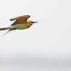 blue-tailed bee-eater, in-flight pursuing prey, Koh Preah, Mekong River, Cambodia
