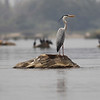 grey heron, adult breeding, Mekong River, Cambodia, 3/14/13