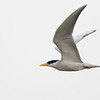 river tern, in-flight, Koh Preah area, Mekong River, Cambodia, 3/15/13