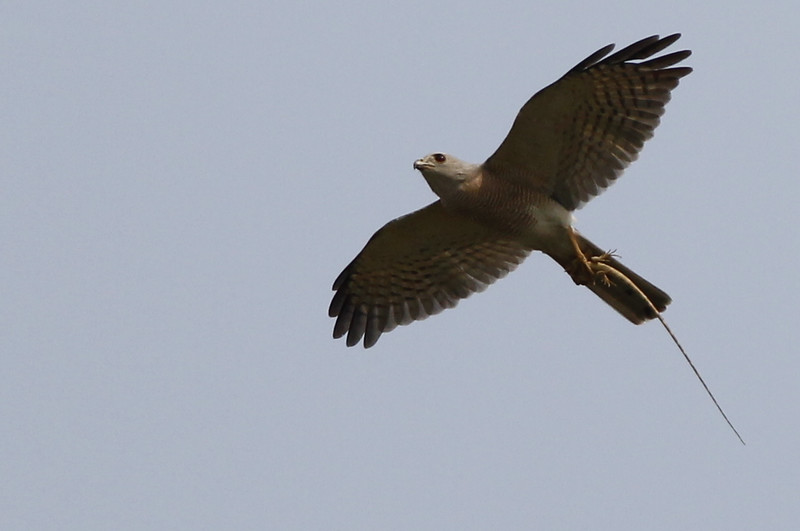 shikra (a common asian accipiter), clutching a large lizard, Koh Rognieu area, Mekong River, Cambodia, 03/09/13