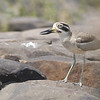 great thick-knee distressed at our presence