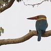 stork-billed kingfisher, Koh Narong, Mekong River, Cambodia