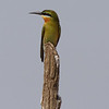 little green bee-eater, Koh Enchey area