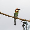 chestnut-headed bee-eater, Koh Enchey area, Mekong River, Cambodia