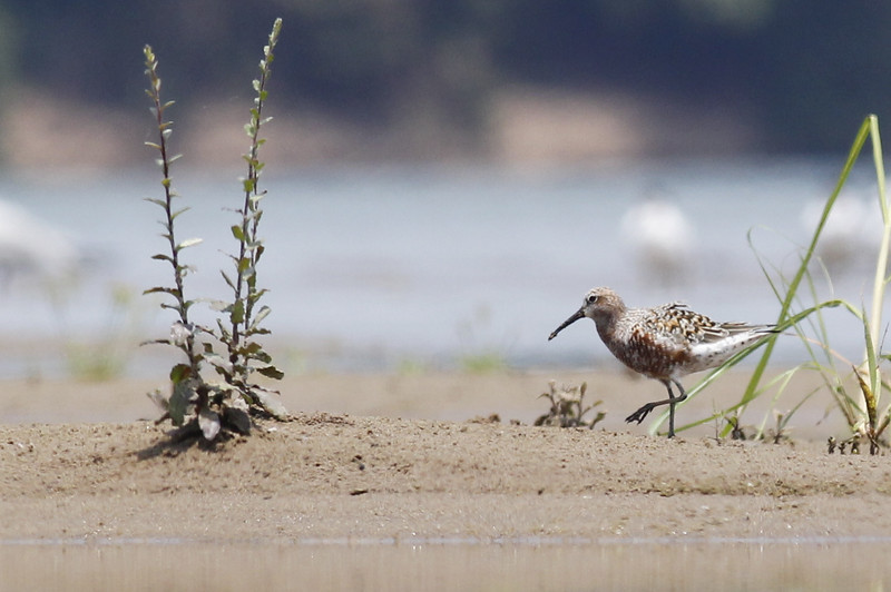 curlew sandpper, adult breeding, a first record for me on the Mekong, a migrant rarely recorded inland