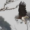 grey-headed fish eagle, adult, in-flight, Ramsar site