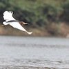 Chinese pond-heron, breeding adult, Ramsar site