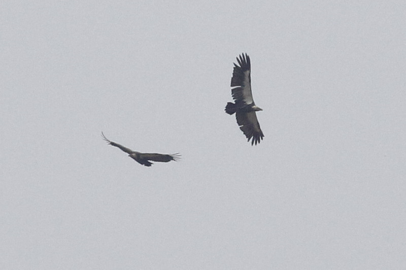 2 white-rumped vultures, soaring on thermals, Khone Falls area,