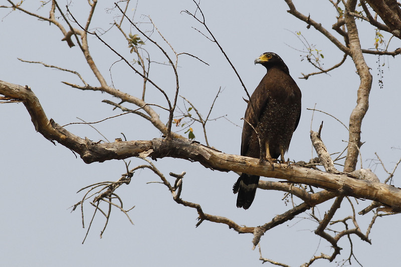 crested serpent eagle, perched, Ramsar site