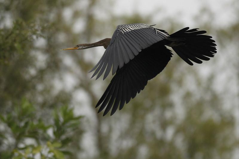 Oriental darter in-flight
