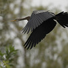 Oriental darter in-flight