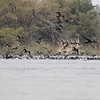 a feeding flock of mostly Indian but containing little and great cormorants (estimated to contain over 500 birds), one Brahminy kite was also diving amongst this flock for fish or cormorants, not sure, West bank of Mekong River, just south of Preah Rummkel, Ramsar site