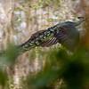 green peafowl, male, flushing after sensing my presence