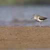 common sandpiper, a common migrant on the Mekong, Koh Preah