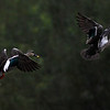 a pair of Indian spot-billed ducks, flushed during my search for the white-winged duck