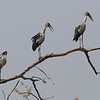 Asian open-billed storks, (only recorded a few times on Mekong) 14 in this group