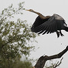 Oriental darter, taking-off