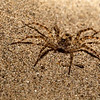 "detail of common ""sand spider"" found at night throughout Mekong, a kind of wolf spider?, Ramsar site"