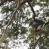 white-bellied woodpecker, female
