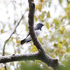 blue and white flycatcher, male