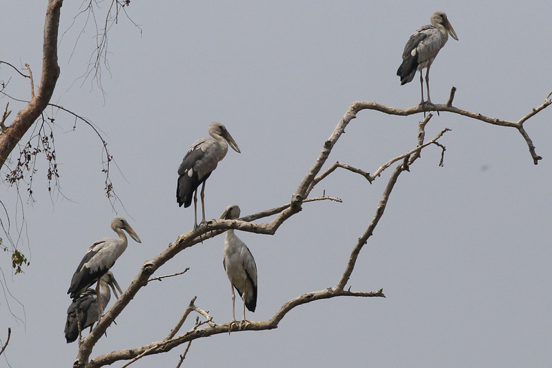 Asian open-billed storks, (only recorded a few times on Mekong)