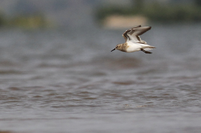 Temminck's stint, a migrant stopping to refuel before continuing on to Siberia, Koh Preah, Mekong River, Cambodia