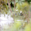 my last glimpse of the white-winged duck