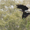 grey-headed fish eagle, adult in-flight