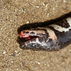 unidentified snake, maybe of the genus opisthotropis?, found dead with remnants of a fishing net around it's body, Ramsar site, 3/25/13