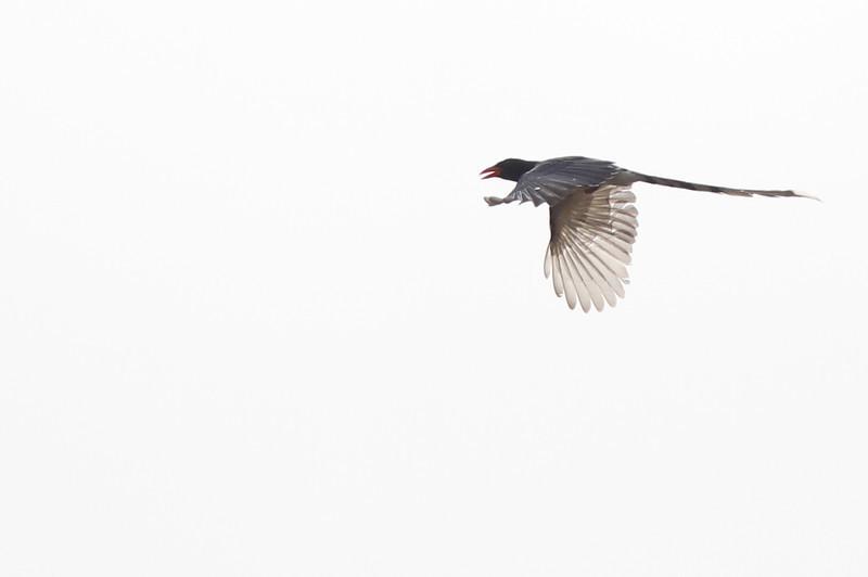 red-billed blue magpie, in-flight, Ramsar site
