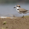 Kentish plover, adult male breeding