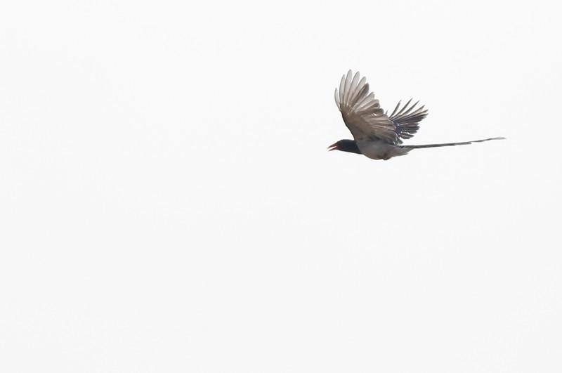 red-billed blue magpie, in-flight