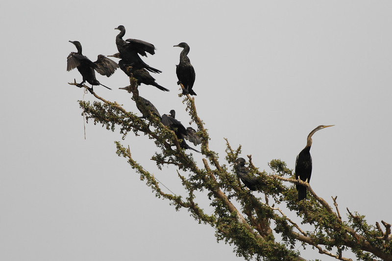part of a cormorant roost estimated to contain over 1000 birds, Ramsar site