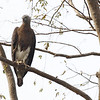 grey-headed fish eagle, adult