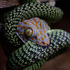 Tokay gecko in the coils of  golden tree snake