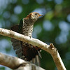 Asian emerald cuckoo, female, Kao Yai NP
