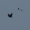 indian-spotted eagle, mobbed by black drongos, two hours north of Kompong Thom, Cambodia April 2011