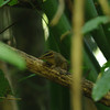 norther slender-tailed treeshrew (Dendrogale murina), Keo Seima Protected Forest