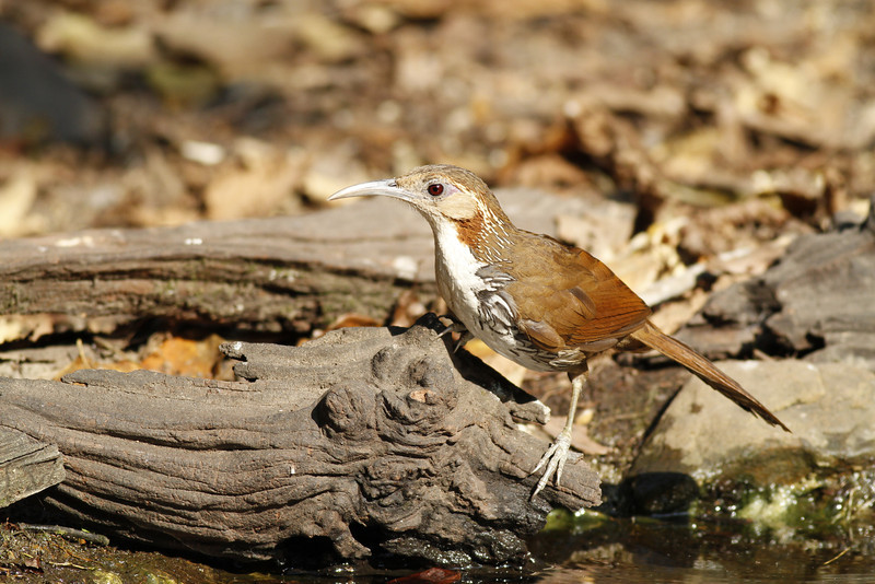 large scimitar babbler,