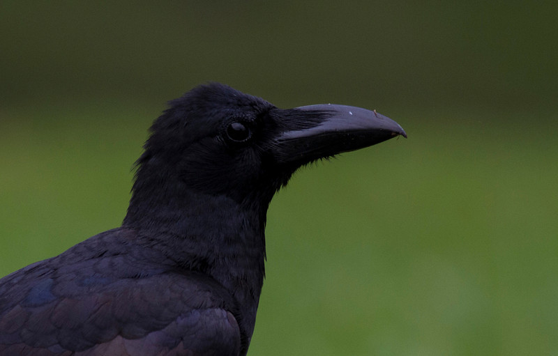 southern jungle-crow
