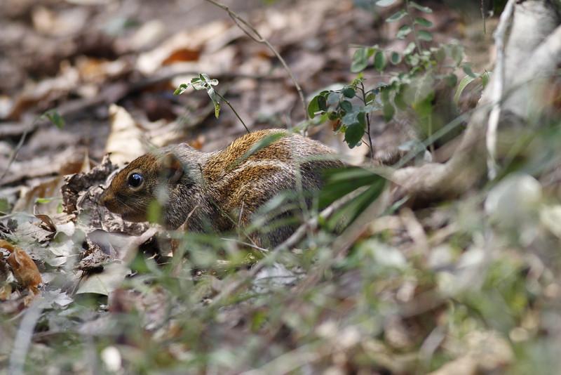 Burmese striped squirrel