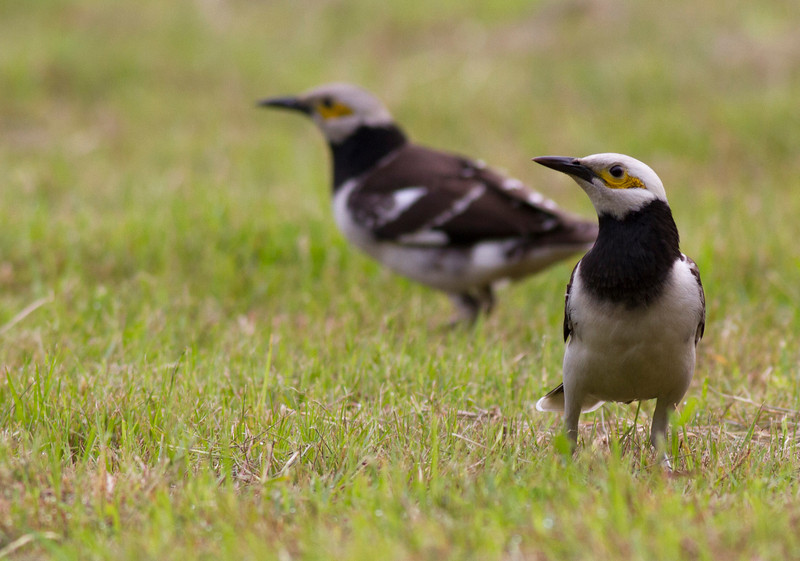 black-collared starling.