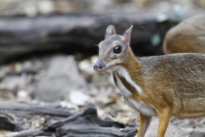 lesser mouse deer