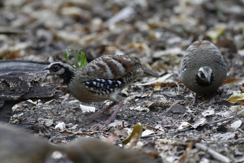 chestnut-bellied partridge